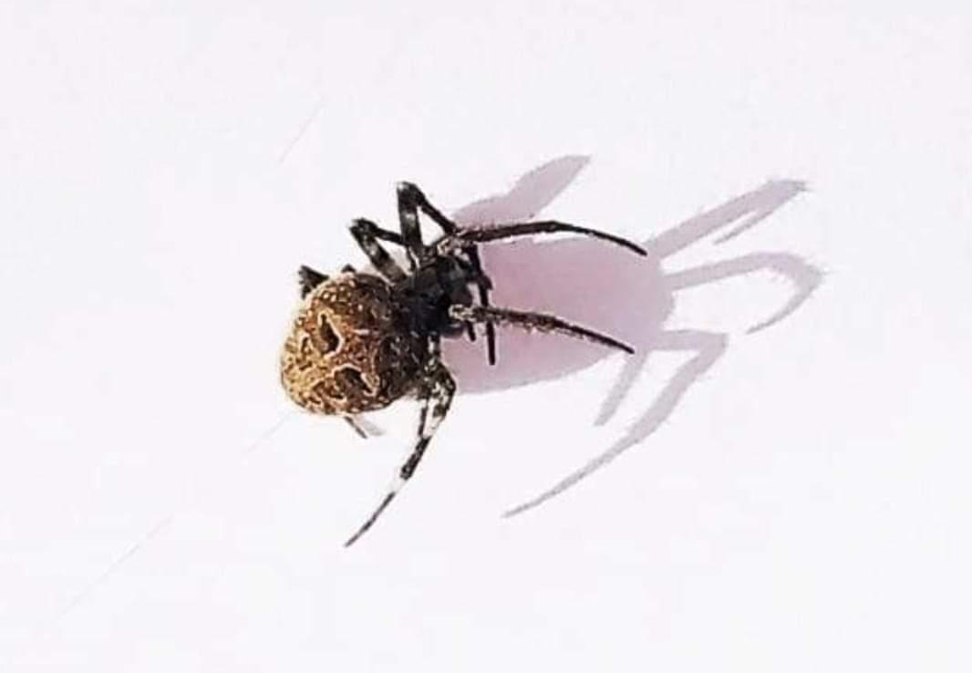 Picture of Neoscona nautica (Brown Sailor Spider) - Dorsal