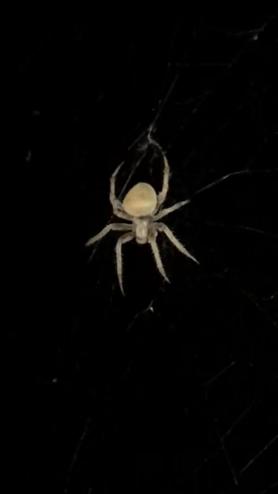 Picture of Neoscona crucifera (Hentz Orb-weaver) - Dorsal,Webs
