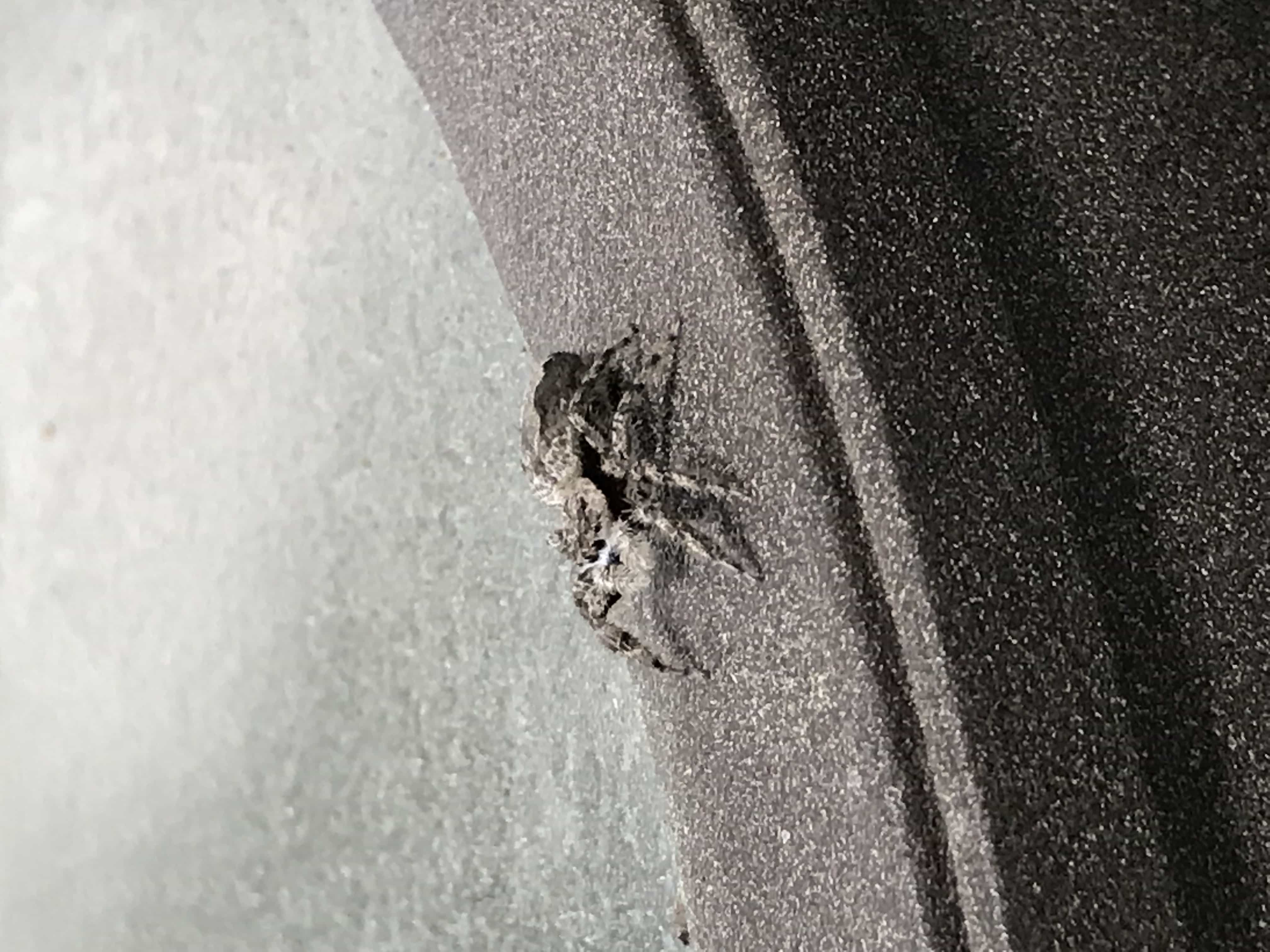 Picture of Platycryptus undatus (Tan Jumping Spider) - Lateral