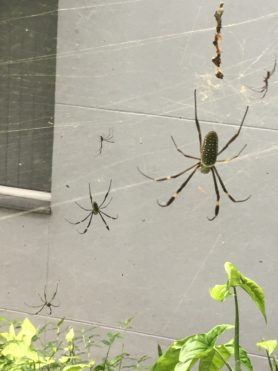 Picture of Nephila clavipes (Golden Silk Orb-weaver) - Male,Female - Dorsal,Webs