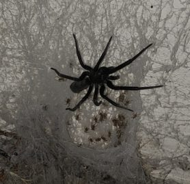 Picture of Kukulcania spp. - Female - Dorsal,Spiderlings,Webs