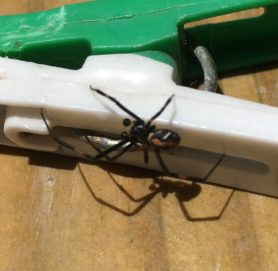 Picture of Latrodectus spp. (Widow Spiders) - Male - Dorsal