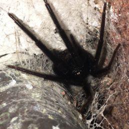 Featured spider picture of Segestria florentina