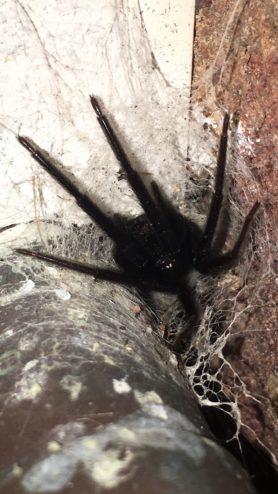 Picture of Segestria florentina - Female - Eyes,Webs