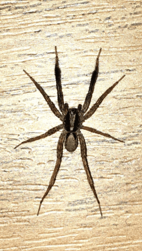 Picture of Schizocosa spp. (Lanceolate Wolf Spiders) - Male - Dorsal