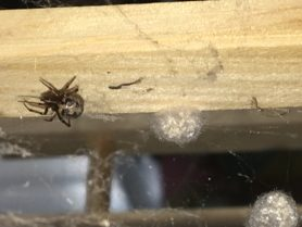 Picture of Steatoda triangulosa (Triangulate Cobweb Spider) - Female - Dorsal,Egg sacs