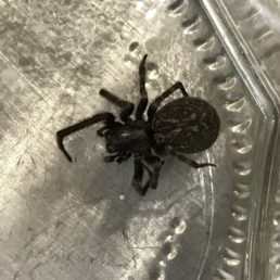 Featured spider picture of Badumna insignis (Black House Spider)