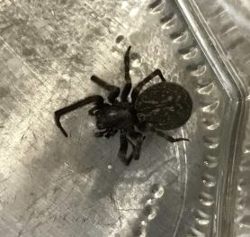 Picture of Badumna insignis (Black House Spider) - Dorsal
