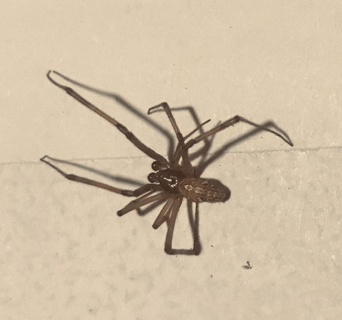 Picture of Latrodectus hesperus (Western Black Widow) - Male - Penultimate