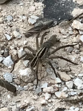 Picture of Rabidosa rabida (Rabid Wolf Spider) - Dorsal