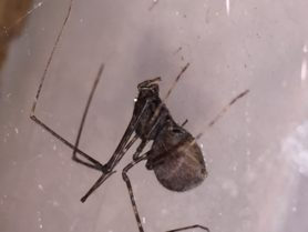 Picture of Scytodes spp. - Female - Lateral