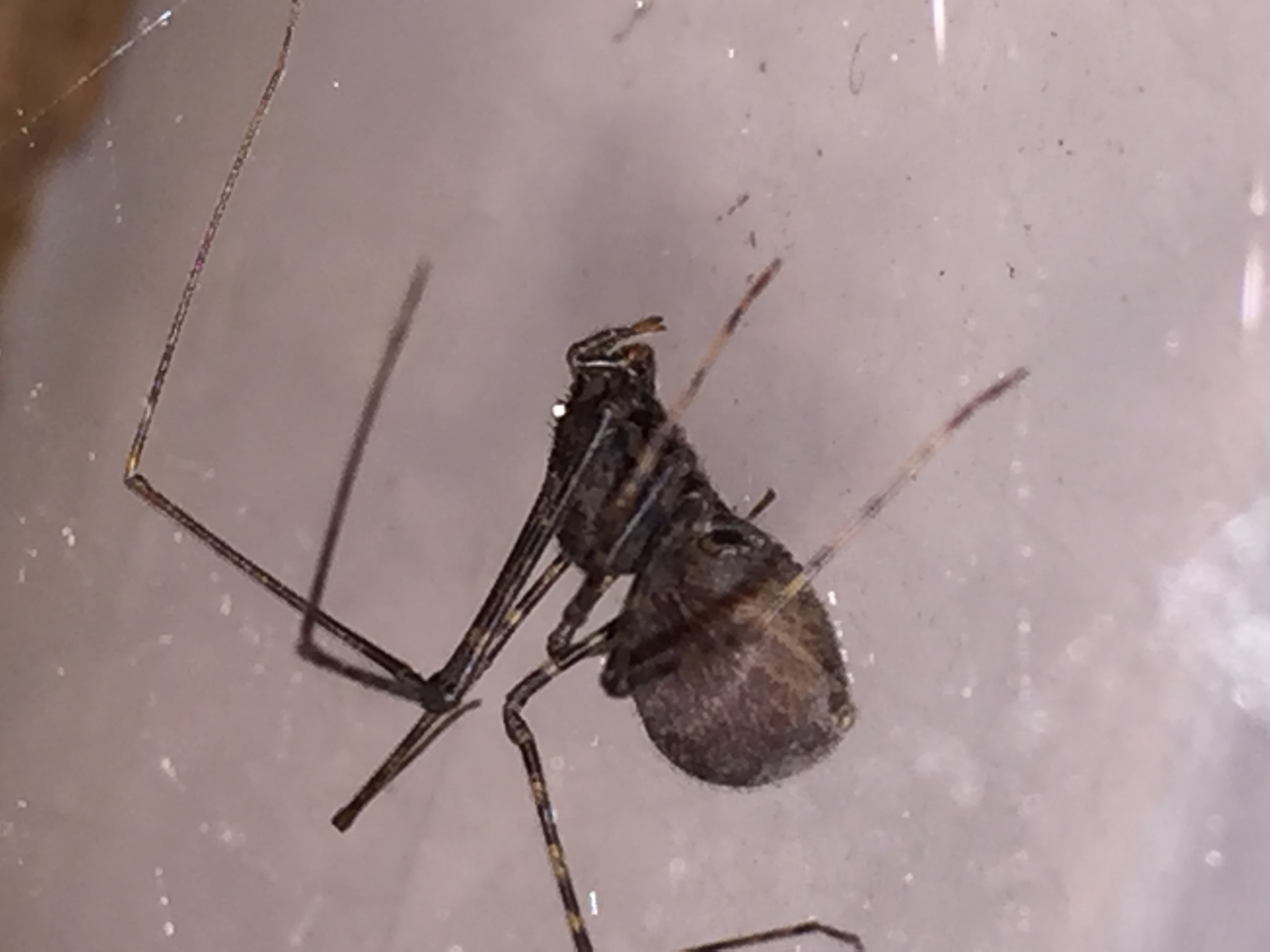 Picture of Scytodes - Female - Lateral
