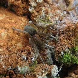 Featured spider picture of Filistata insidiatrix