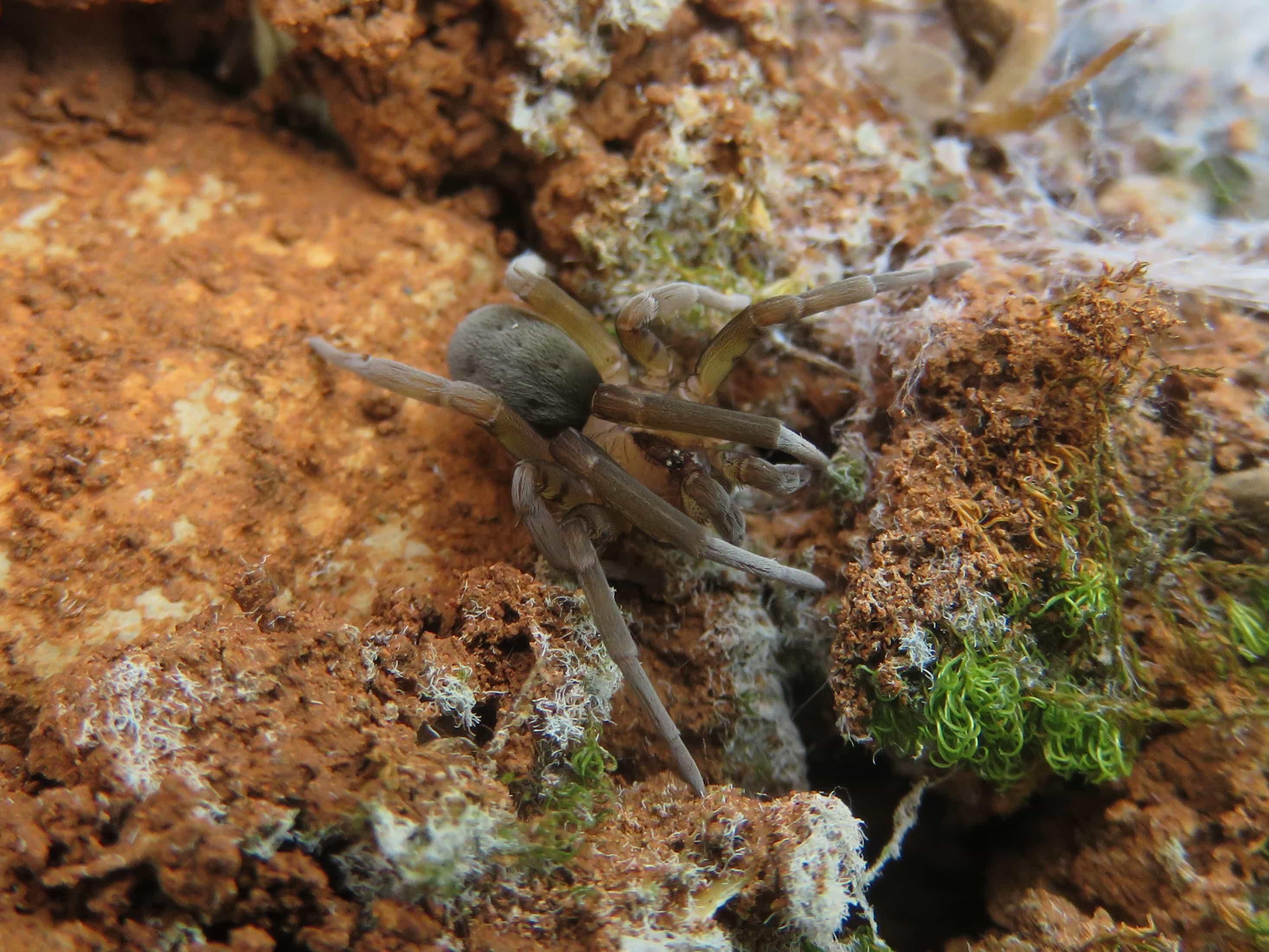 Picture of Filistata insidiatrix - Dorsal,Eyes