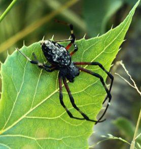 Picture of Nephilingis cruentata (African Hermit Spider) - Dorsal