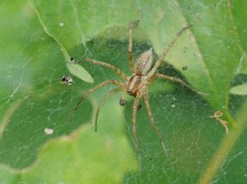 Picture of Agelenopsis spp. (Grass Spiders) - Male - Dorsal,Webs