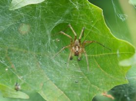 Picture of Agelenopsis spp. (Grass Spiders) - Male - Dorsal,Eyes,Webs