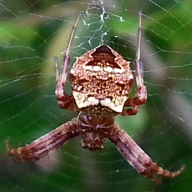Picture of Gea heptagon (Heptagonal Orb-weaver) - Female - Dorsal