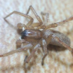 Featured spider picture of Hibana gracilis