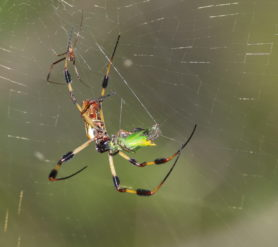 Picture of Trichonephila clavipes (Golden Silk Orb-weaver) - Male,Female - Lateral,Ventral,Prey