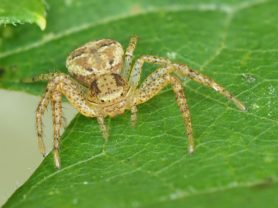 Picture of Xysticus spp. (Ground Crab Spiders) - Eyes