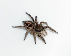 Picture of Habronattus americanus - Female - Dorsal
