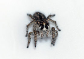 Picture of Habronattus hirsutus - Female - Eyes