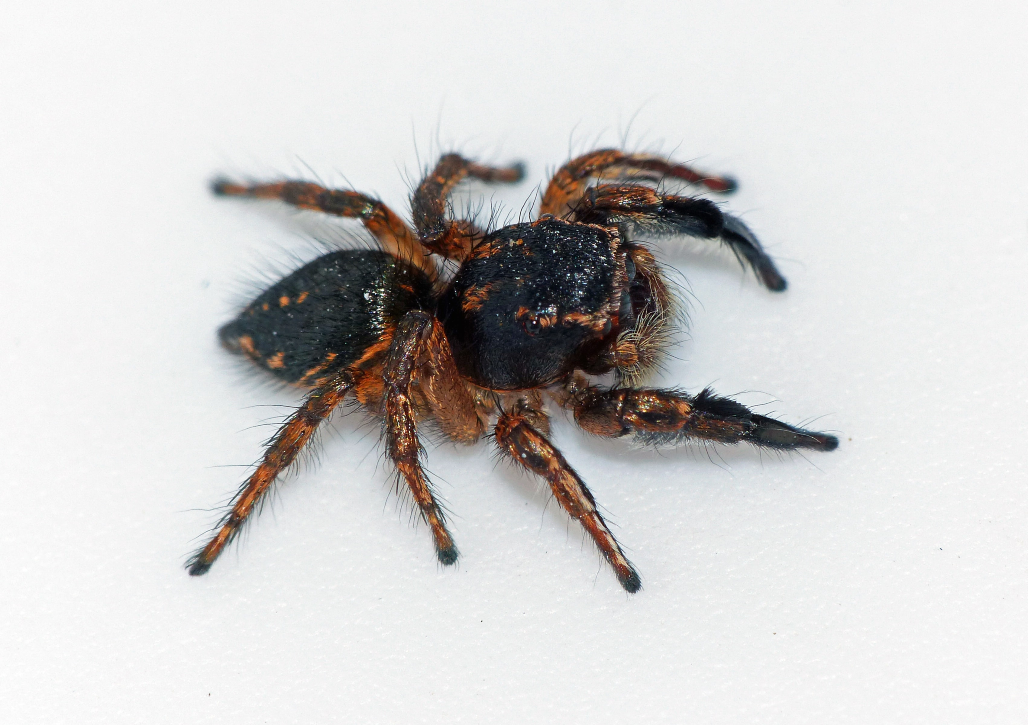 Picture of Habronattus hirsutus - Male - Dorsal