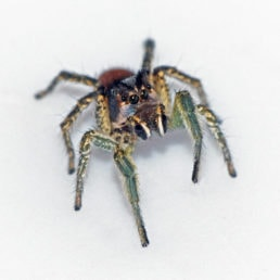 Featured spider picture of Habronattus ophrys