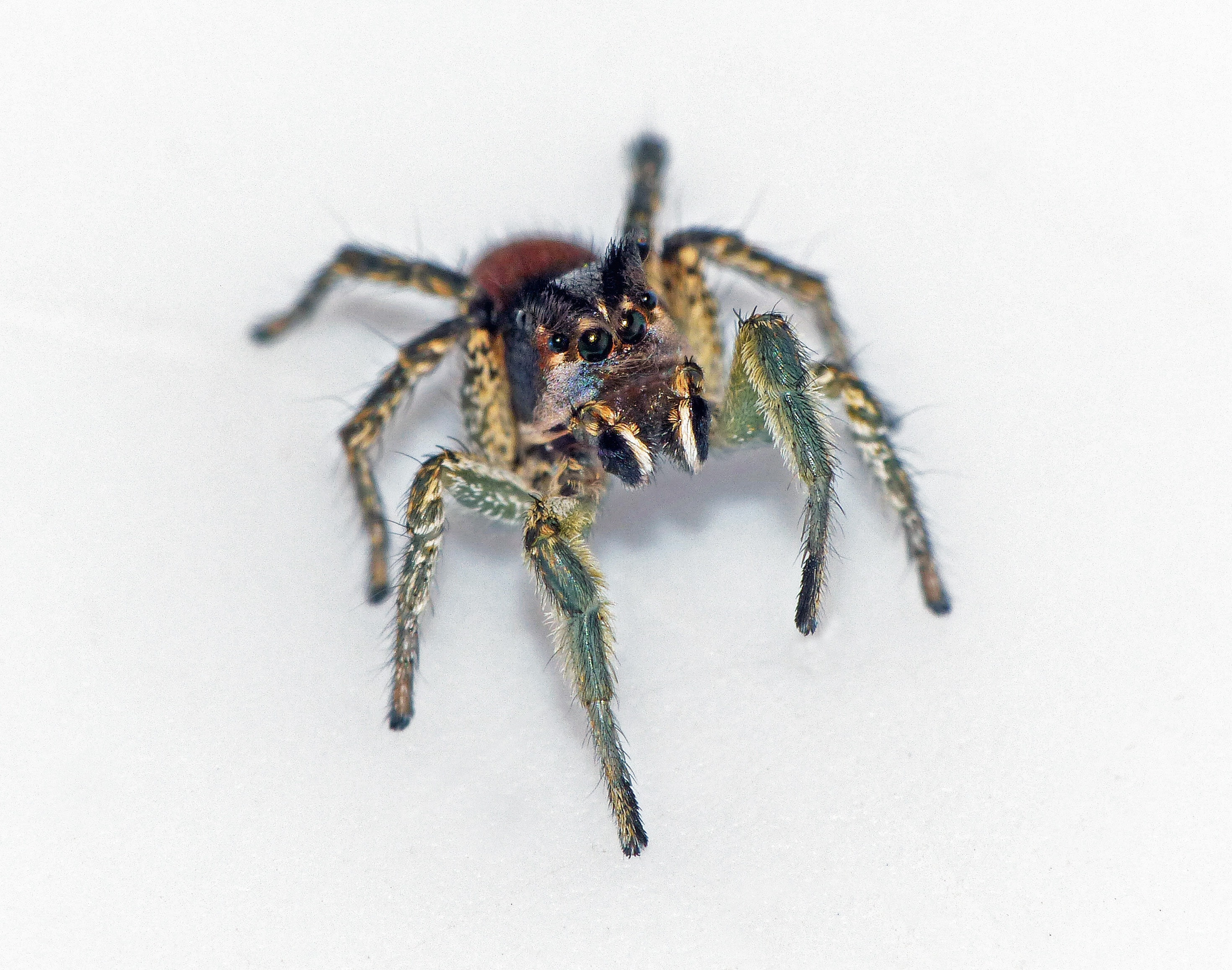 Picture of Habronattus ophrys - Male - Eyes