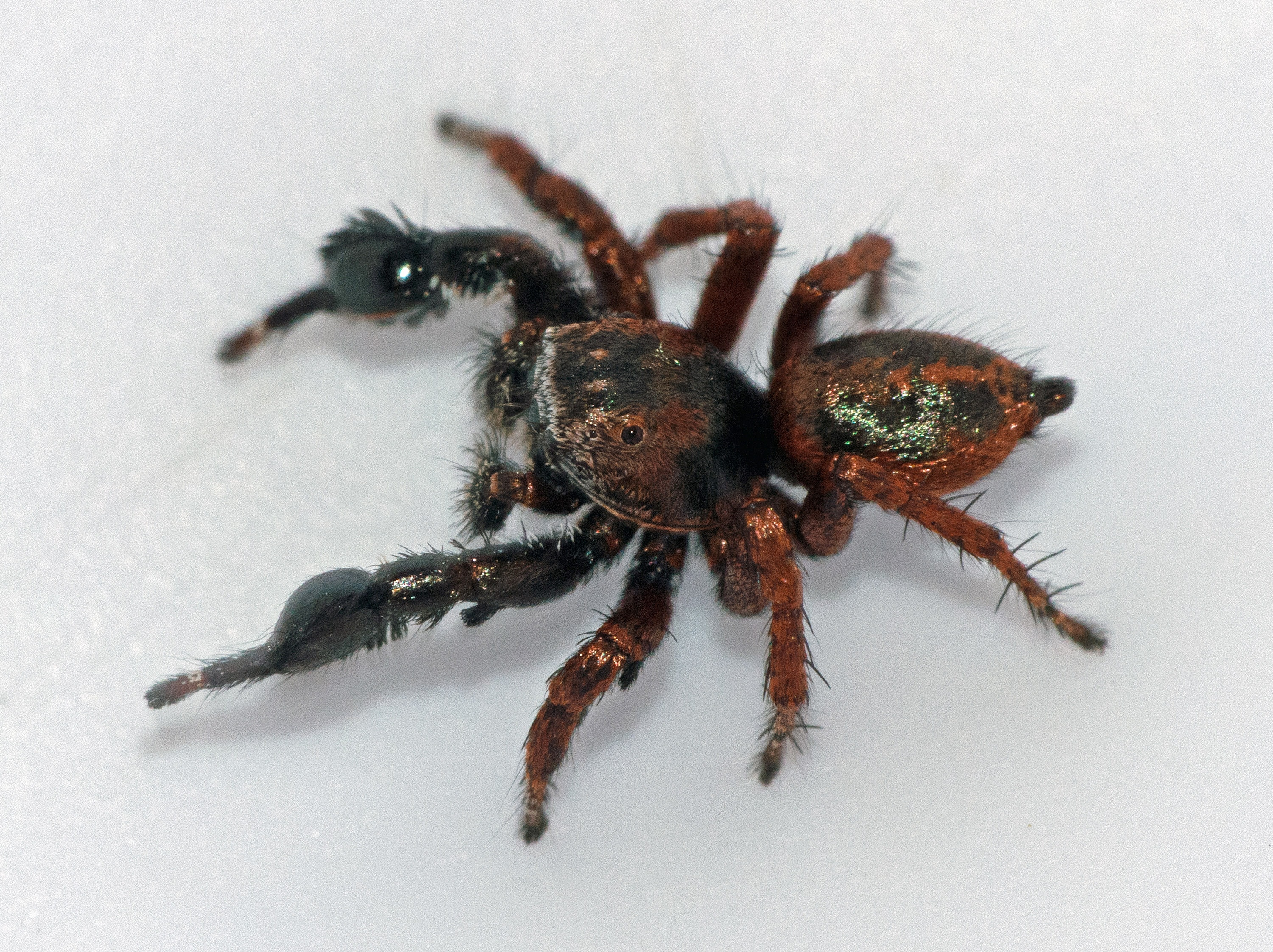 Picture of Habronattus oregonensis - Male - Dorsal