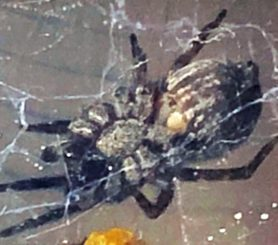 Picture of Badumna longinqua (Grey House Spider) - Female - Ventral,Webs