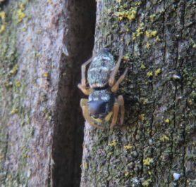 Picture of Heliophanus spp. - Dorsal