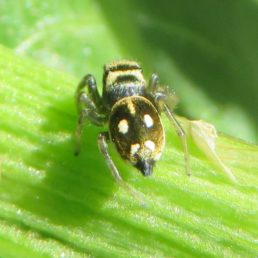 Featured spider picture of Heliophanus rufithorax