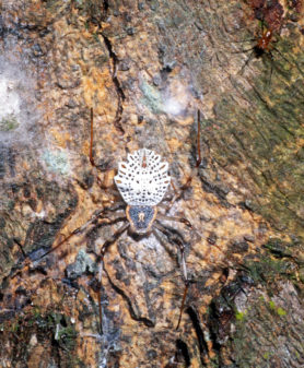 Picture of Herennia multipuncta (Ornamental Tree Trunk Spider, ) - Male,Female - Dorsal,Webs