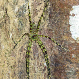Featured spider picture of Heteropoda boiei (Lichen Huntsman Spider)