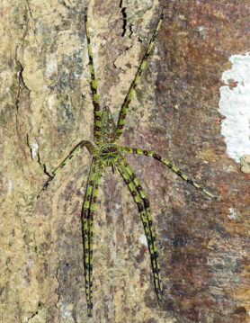 Picture of Heteropoda boiei (Lichen Huntsman Spider) - Male - Dorsal