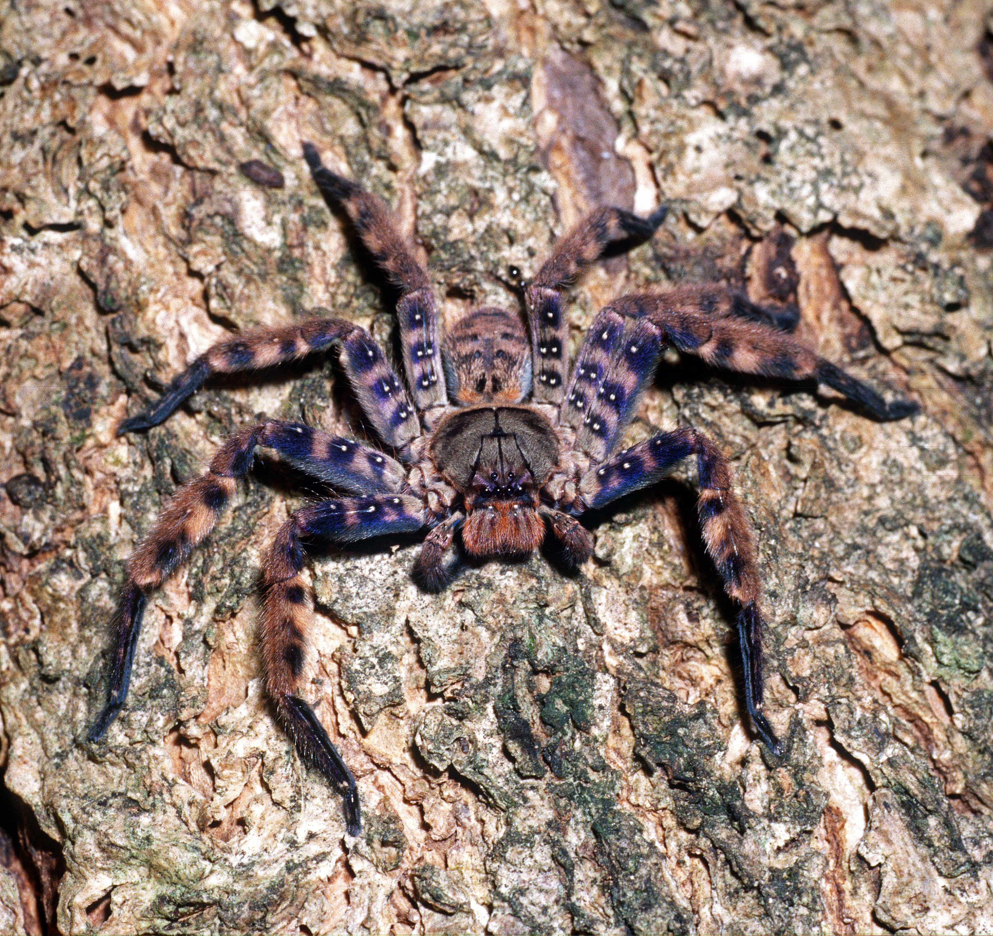 Picture of Heteropoda lunula - Female - Dorsal