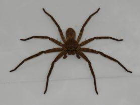 Picture of Heteropoda spp. - Female - Dorsal,Eyes