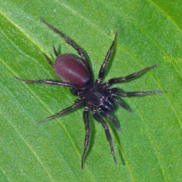 Featured spider picture of Hexura picea
