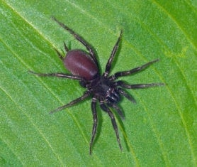 Picture of Hexura picea - Female - Dorsal