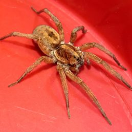 Featured spider picture of Hogna lenta