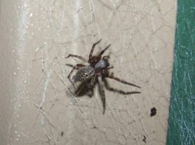 Picture of Badumna longinqua (Grey House Spider) - Dorsal,Webs