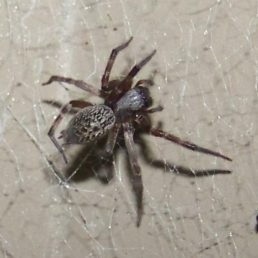 Featured spider picture of Badumna longinqua (Grey House Spider)