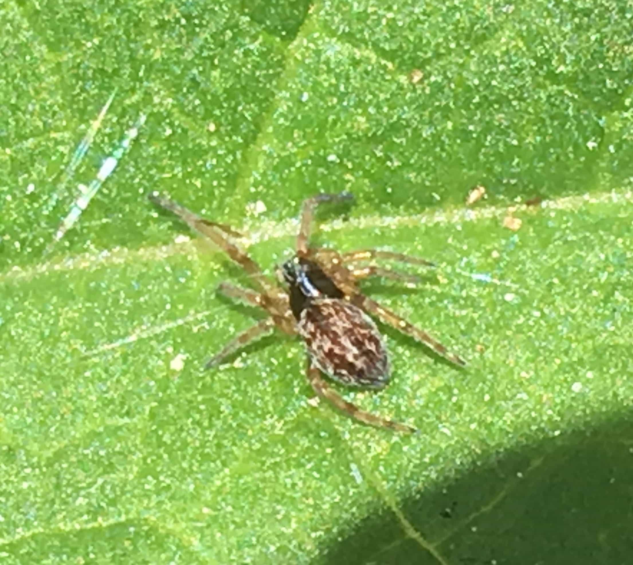 Picture of Dictynidae (Mesh Web Weavers) - Dorsal