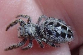 Picture of Phidippus putnami - Female - Dorsal