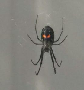 Picture of Leucauge spp. (Silver Orb-weaver) - Ventral,Webs
