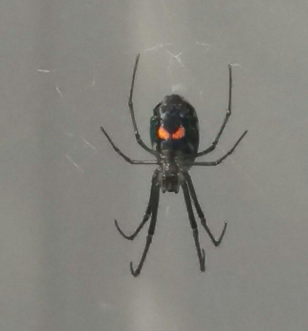 Picture of Leucauge - Ventral,Webs