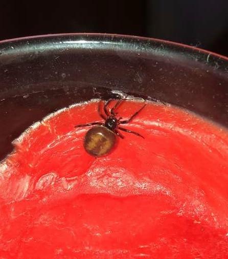 Picture of Steatoda bipunctata (Rabbit Hutch Spider) - Dorsal