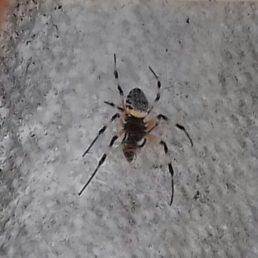 Featured spider picture of Nephilingis cruentata (African Hermit Spider)